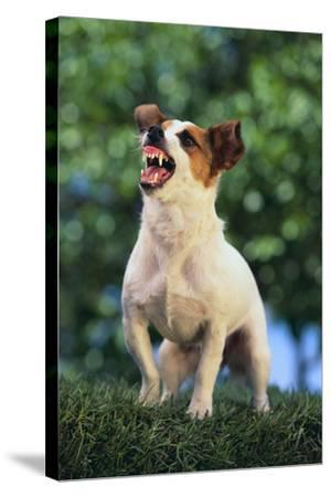 Jack Russell Terrier Bearing its Teeth-DLILLC-Stretched Canvas Print