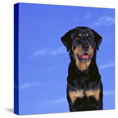 Rottweiler-DLILLC-Stretched Canvas Print