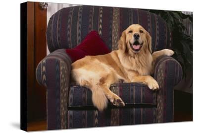 Golden Retriever Resting in Armchair-DLILLC-Stretched Canvas Print