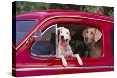 Jack Russel and Weimaraner Sitting in a Car-DLILLC-Stretched Canvas Print