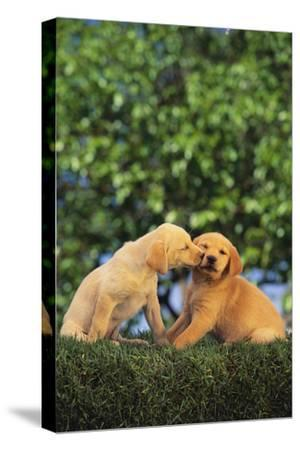 Lab and Golden Retriever Puppies-DLILLC-Stretched Canvas Print