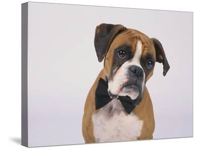 Boxer in a Bow Tie-DLILLC-Stretched Canvas Print