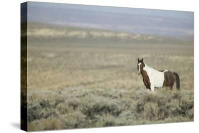 Wild Horse-DLILLC-Stretched Canvas Print