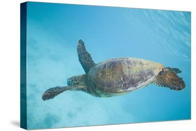 Green Sea Turtle-DLILLC-Stretched Canvas Print