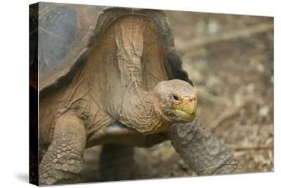 Saddleback Galapagos Tortoise-DLILLC-Stretched Canvas Print