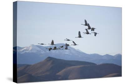 Snow Geese in Flight-DLILLC-Stretched Canvas Print