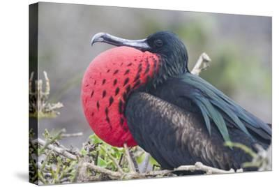 Great Frigatebird Puffing His Inflatable Red Throat Pouch-DLILLC-Stretched Canvas Print