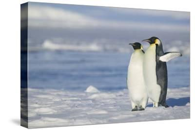Pair of Emperor Penguins-DLILLC-Stretched Canvas Print