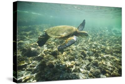 Green Sea Turtle Swimming in Shallow Water-DLILLC-Stretched Canvas Print