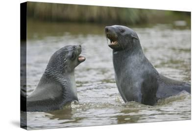 Antarctic Fur Seals Playing in Shallow Water-DLILLC-Stretched Canvas Print