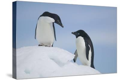 Pair of Adelie Penguins on an Iceberg-DLILLC-Stretched Canvas Print