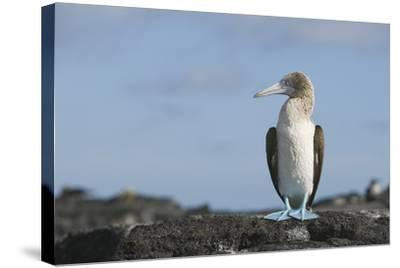 Blue-Footed Booby-DLILLC-Stretched Canvas Print
