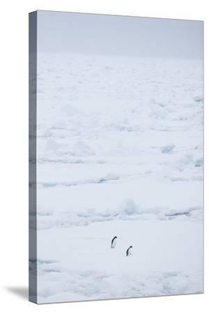 Adelie Penguins Walking along Sea Ice-DLILLC-Stretched Canvas Print