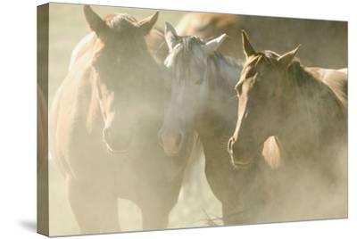 Quarter Horses-DLILLC-Stretched Canvas Print