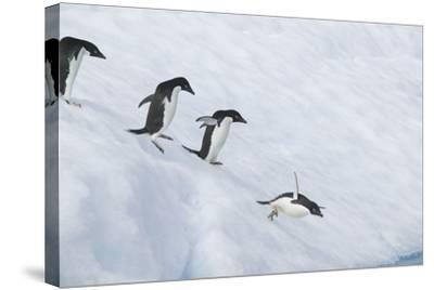 Adelie Penguins Jumping into the Sea-DLILLC-Stretched Canvas Print