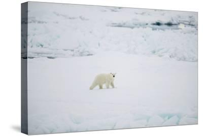 Polar Bear on Sea Ice-DLILLC-Stretched Canvas Print