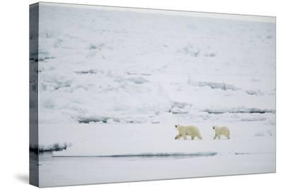 Pair of Polar Bears on Sea Ice-DLILLC-Stretched Canvas Print