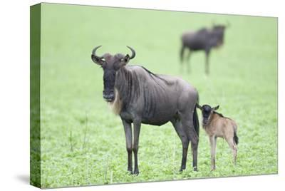 Wildebeest and Calf-DLILLC-Stretched Canvas Print
