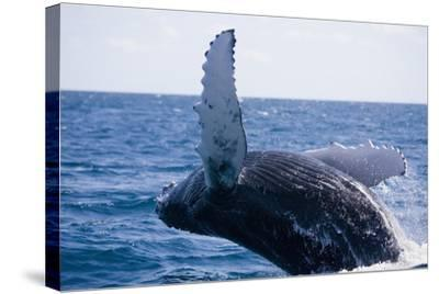Humpback Whale Breaching from the Atlantic Ocean-DLILLC-Stretched Canvas Print