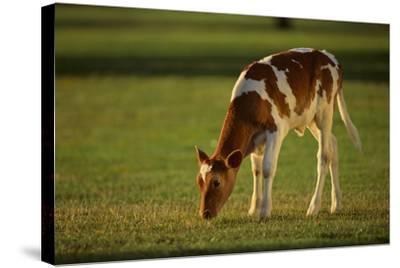 Grazing Holstein-Jersey Mix Calf-DLILLC-Stretched Canvas Print