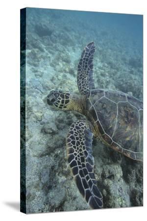 Green Sea Turtle Swimming-DLILLC-Stretched Canvas Print