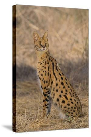 African Serval-DLILLC-Stretched Canvas Print