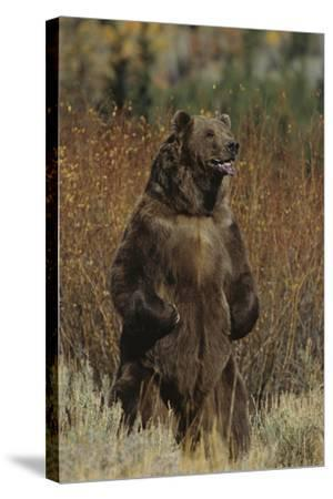 Grizzly Bear Standing in Meadow-DLILLC-Stretched Canvas Print