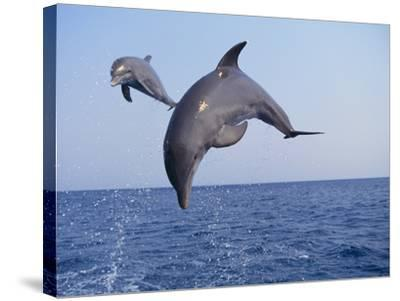 Dolphin Breaching the Oceans Surface-DLILLC-Stretched Canvas Print
