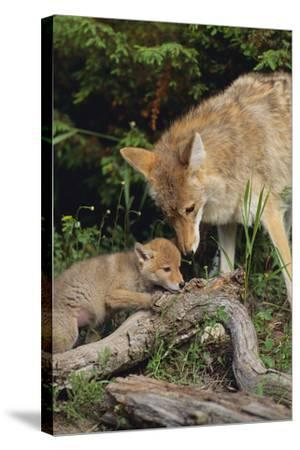 Coyote and Her Pup-DLILLC-Stretched Canvas Print