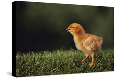 Chick-DLILLC-Stretched Canvas Print