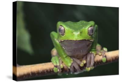 Monkey Tree Frog Perched on a Branch-DLILLC-Stretched Canvas Print