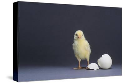 Leghorn Chick-DLILLC-Stretched Canvas Print