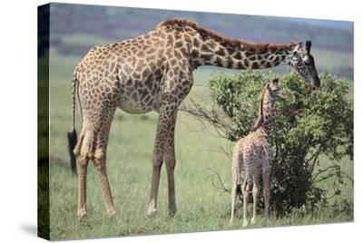 Giraffe and Young Eating a Bush-DLILLC-Stretched Canvas Print