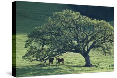 Horses in a Pasture-DLILLC-Stretched Canvas Print