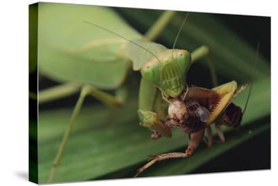 African Praying Mantis Eating a Bug-DLILLC-Stretched Canvas Print