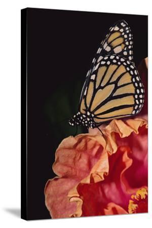 Monarch Butterfly-DLILLC-Stretched Canvas Print