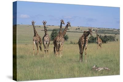 Giraffes Standing around an Injured Young Giraffe-DLILLC-Stretched Canvas Print