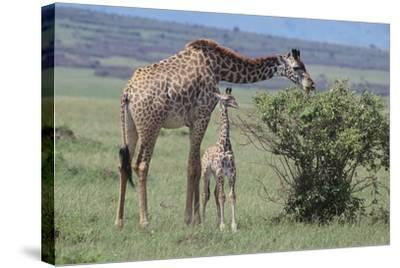 Parent and Young Giraffe-DLILLC-Stretched Canvas Print