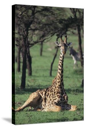 Giraffe Resting in the Grass-DLILLC-Stretched Canvas Print