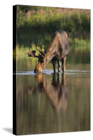 Moose Drinking-DLILLC-Stretched Canvas Print