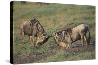 Blue Wildebeests Fighting-DLILLC-Stretched Canvas Print