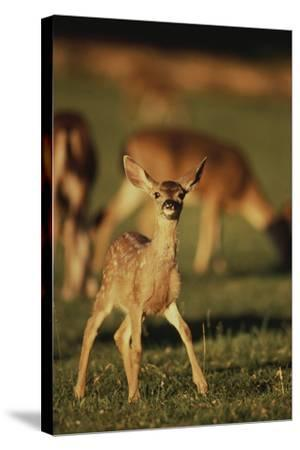 Baby Mule Deer-DLILLC-Stretched Canvas Print