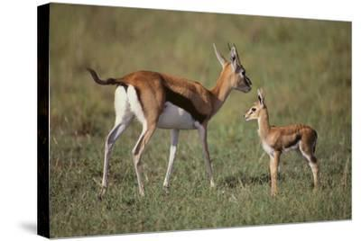 Thomson's Gazelle and Young-DLILLC-Stretched Canvas Print