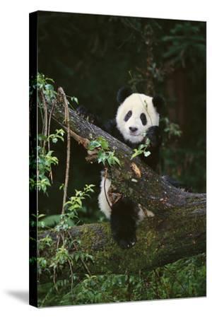 Panda on Fallen Tree-DLILLC-Stretched Canvas Print