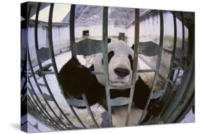 Panda in Cage-DLILLC-Stretched Canvas Print