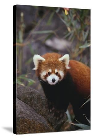 Red Panda-DLILLC-Stretched Canvas Print