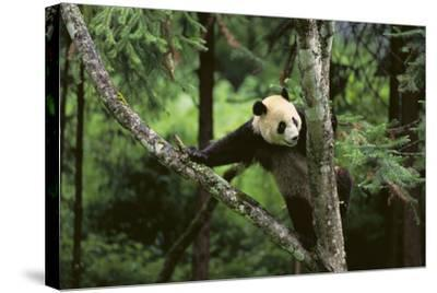 Giant Panda in the Forest-DLILLC-Stretched Canvas Print