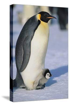 Emperor Penguin Warming its Baby-DLILLC-Stretched Canvas Print