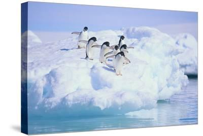 Adelie Penguins-DLILLC-Stretched Canvas Print