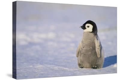 Baby Emperor Penguin-DLILLC-Stretched Canvas Print